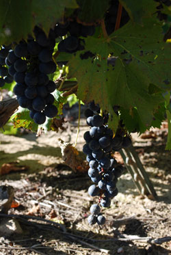Grapes ready to harvest at Sandhill Crane Vineyards.