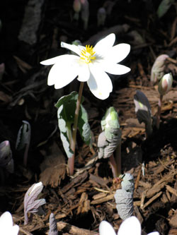 Bloodroot, an early sign of spring.