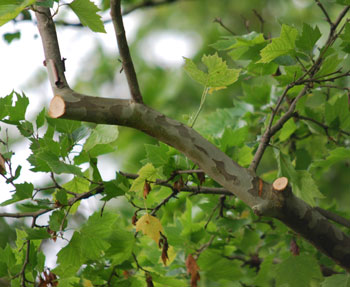 trimmed branches in Ann Arbor Michigan