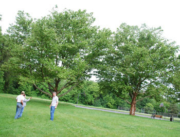Two sycamore trees for movie Flipped
