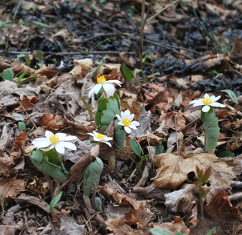 Bloodroot survived the controlled burn