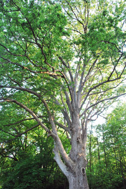 Ann Arbor Tree Town