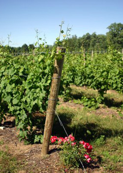 Old Shore Vineyard