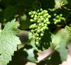 Pinot Gris grapes at Old Shore Vineyards