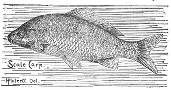 German/scale/common carp: The German or common carp was the variety most widely spread in Michigan.
